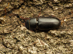 Bark-gnawing Beetle (treegrow) Tags: rockcreekpark washingtondc nature lifeonearth arthropoda raynoxdcr250 insect coleoptera beetle tenebroides trogossitidae