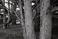 Cypress (bingley0522) Tags: leicaiiic zeissjenasonnar50mmf15 ilfordxp2 pointlobos coastalcalifornia cypress autaut trees bark texture carl zeiss jena 50mm f15 sonnar ltm carlzeissjena50mmf15sonnarltm zeissjenasonnar50mmf15ltm
