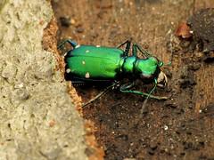 Six-spotted Tiger Beetle (treegrow) Tags: rockcreekpark washingtondc nature lifeonearth arthropoda raynoxdcr250 insect coleoptera beetle carabidae cicindelasexguttata