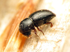 Bark Beetle (treegrow) Tags: rockcreekpark washingtondc nature lifeonearth arthropoda raynoxdcr250 insect coleoptera beetle curculionidae
