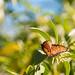 Queen butterfly at rest - Desert Botanical Gardens, Phoenix