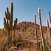 Cactus in Desert Landscape - Desert Botanical Gardens, Phoenix