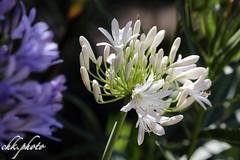 Beautiful white flowers (chk.photo) Tags: nature naturewatcher outdoor natur naturemasterclass light ngc flower blume salzburg österreich austria flickr
