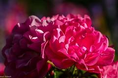 Im Rosengarten (Andi Fritzsch) Tags: blume blumen blüte blüten blosom flower flowers flowercolors flowerpower floralfriday flowerphotography natur nature naturephotography makro macro macrophotography closeup closeupphotography rose rosen nikond5100 nikon sigma sigma105mm