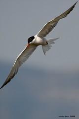 Xatrac* (Enllasez - Enric LLaó) Tags: aves aus bird birds ocells pájaros deltadelebre deltadelebro delta xatrac charrán