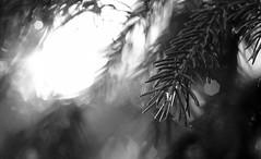 Untitled / Без названия (Boris Kukushkin) Tags: firtree water rain drop light sunset needle bw ель вода елка дождь капля свет закат иголка иголки чб belarusian nature