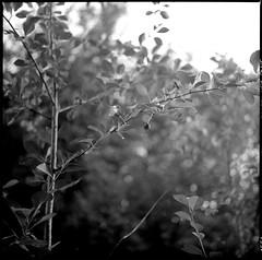 Вишня (petersoloway) Tags: yashicamat124g ilford ilfordfilm 120film film 6x6 middleformat squarebw ddx ilfotecddx iso400 hp5 cherry leaves analog scan infocus tlr