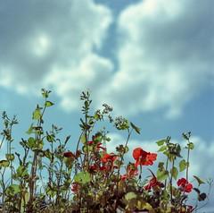 ... felt the energy of sun rays. (Diaffi) Tags: felttheenergyofsunrays rollfilmweek dayfive analog hasselblad kodaknc160 selfdeveloped homedevelopedc41 colorfilm expiredfilm mediumformat 6x6 film120 flowers sky clouds ishootfilm nature