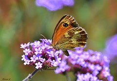 Another Verbena Lover (Eleanor (New account))) Tags: insect butterfly gatekeeperbutterfly flower verbena garden stanmore uk july2019 nikond7200 coth5