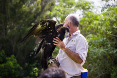 Bird Trainer Handling a Wedge-tailed Eagle (do_japan) Tags: australia queensland people man handler trainer bird plumage feather bunjil aquila audax beak animal lamington national park tree forest nature show prey oreilly crowd glove wedgetailed eagle wedge boy tailed