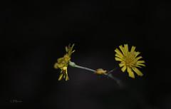 fleurs escarpement_fleur Takumar 50mm 1,4__DSF1243 (J-P Rioux) Tags: fleur sauvage fujifilm takumar50mmf14 takumar jprioux escarpement