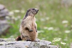 Marmotte (fauneetnature) Tags: maurienne montagne mountain marmot animalier animal animauxmontagne mountainanimals alpes alps nature naturephotography photonature wildlife wildlifephotography savoie