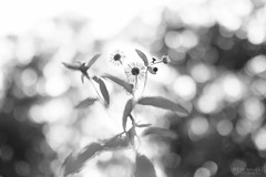 ほどける (atacamaki) Tags: xt2 23mm f14 xf fujifilm jpeg撮って出し atacamaki japan tochigi nasu shozo monochrome bw flower forest nature 今日のおはな モノクロ 白黒 写真クラス bokeh