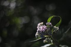 fleurs escarpement_fleur Takumar 50mm 1,4__DSF1254 (J-P Rioux) Tags: fleur sauvage fujifilm takumar50mmf14 takumar jprioux escarpement