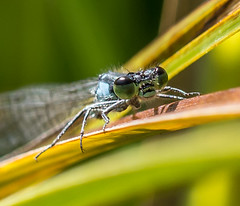 Over-sized. (Omygodtom) Tags: elitebugs existinglight tamron90mm eye macro dof d7100 tannersprings flickr smugmug algorithm insect bug