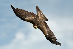 Yellow Billed Kite-2 (johnaalex) Tags: d850 awendaw southcarolina avian birdsofprey nikonafs80400f4556g bird kite