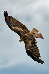 Yellow Billed Kite-1 (johnaalex) Tags: d850 awendaw southcarolina avian birdsofprey nikonafs80400f4556g bird kite