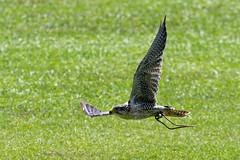 Peregrin falcon-1 (johnaalex) Tags: d850 awendaw southcarolina avian birdsofprey nikonafs80400f4556g bird falcon