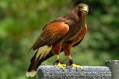 Harris Hawk-5 (johnaalex) Tags: d850 awendaw southcarolina avian birdsofprey nikonafs80400f4556g bird hawk