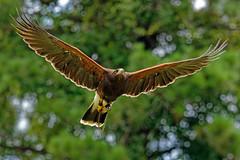 Harris Hawk-4 (johnaalex) Tags: d850 awendaw southcarolina avian birdsofprey nikonafs80400f4556g bird hawk