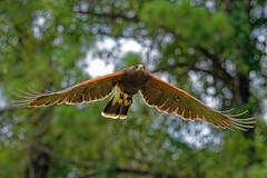 Harris Hawk-3 (johnaalex) Tags: d850 awendaw southcarolina avian birdsofprey nikonafs80400f4556g bird hawk