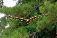 Harris Hawk-1 (johnaalex) Tags: d850 awendaw southcarolina avian birdsofprey nikonafs80400f4556g bird hawk
