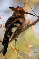 African Hoopoe (Astrid Sanders) Tags: birds south africa