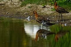 DSC06263 - Greenshank & BT Godwits (steve R J) Tags: greenshank fingringhoe wick ewt reserve colchester essex birds british