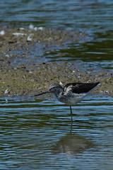 DSC06250 - Greenshank (steve R J) Tags: greenshank fingringhoe wick ewt reserve colchester essex birds british