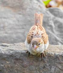 Spring Forward. (Omygodtom) Tags: wildlife wild bird sparrow rock nikkor nikon70300mmvrlens vr algorithm outside