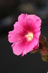 立葵 / Althaea rosea        Schneider Kreuznach Xenon 1:2 / 50 (情事針寸II) Tags: macro oldlens nature flower schneiderkreuznachxenon1250 flowerscolors macrodreams