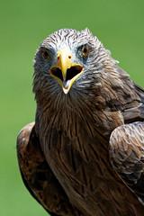 Yellow Billed Kite-4 (johnaalex) Tags: d850 awendaw southcarolina avian birdsofprey nikonafs80400f4556g bird kite