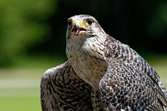 Peregrin falcon-2 (johnaalex) Tags: d850 awendaw southcarolina avian birdsofprey nikonafs80400f4556g bird falcon