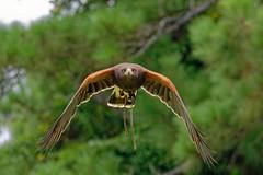 Harris Hawk-2 (johnaalex) Tags: d850 awendaw southcarolina avian birdsofprey nikonafs80400f4556g bird hawk