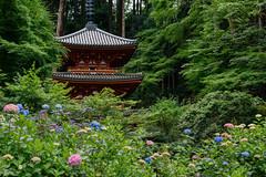 岩船寺9・Gansenji Temple (anglo10) Tags: japan kyoto 木津川市 岩船寺 寺院 temple flower アジサイ