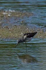 DSC06255 - Greenshank (steve R J) Tags: greenshank fingringhoe wick ewt reserve colchester essex birds british