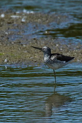 DSC06253 - Greenshank (steve R J) Tags: greenshank fingringhoe wick ewt reserve colchester essex birds british