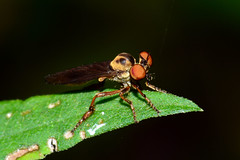 Robber Fly (Explored) (Astral Will) Tags: bug insect fly robberfly eyes hfdf flydayfriday macro