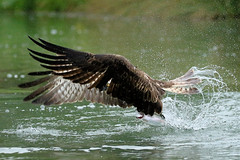 """Golden Eye"" (robin denton) Tags: bird nature wildlifephotography wildlife flight flying pandionhaliaetus rutland osprey fishing oakham uk hornmill rivergwash"