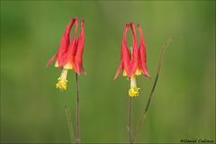 Twin Wild Columbine (Daniel Cadieux) Tags: wildcolumbine wildflower columbine twins two pair couple field grasslands flowers ottawa summer burntlands provincialpark