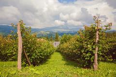 Fields of Raspberries
