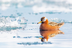 ᓱᑦᒐᒃ | Saurraq | Red Phalarope on journey to the floe edge (Paul B Jones) Tags: floeedge ᓱᑦᒐᒃ saurraq redphalarope phalaropusfulicarius male breedingplumage pondinlet nunavut arctic canada bird nature wildlife canon eos1dxmarkii ef600mmf4liii ef14xiii shorebird
