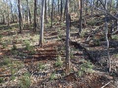 Xerochrysum viscosum and habitat (stitchingbushwalker) Tags: xerochrysum xerochrysumviscosum