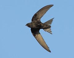 Swift (Apus apus ) (minvallaa) Tags: swift apus migrant arial scythe wings