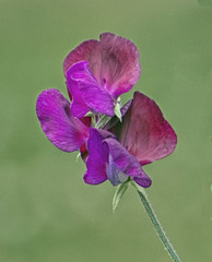 Sweet Pea flower (Gill Stafford) Tags: flower flora sweetpea flowerhead flowers plant garden outdoor closeup'closeup'macro closeup'closeup'macro