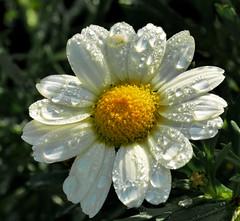 P2160351-Nach dem Regen (Bine&Minka2007) Tags: freitagsblümchen flower tropfen regentropfen margarithe sonne blumen blüten macro makro christal closeup