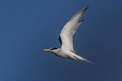 white-fronted tern (madziulka_a) Tags: whitefrontedtern poland wildlife bird nature nikon d850 nikkor 200500mm photography