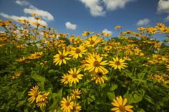 Seneca Meadows (Matt Champlin) Tags: tgif friday beautiful summer sun amazing sunflowers blue sky skies weather awesome hike hiking peaceful nature landscape senecafalls senecameadows canon 2019