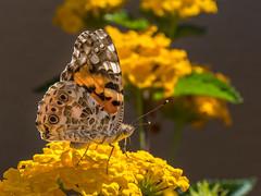 Painted Lady (Maria-H) Tags: paintedlady vanessacardui butterfly kefalonia fiskardo ionian islands greece olympus omdem1markii panasonic 100400