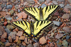 Swallowtails on the Rocks (WOODSHED Revisited) Tags: minnesota forest arrowhead northeast marthadecker upnorth onlyinmn superior national road trip outside outdoors drive driving scenery scenic minn mn usfs grade 170 butterflies butterfly swallowtail cascade lake boat landing lutsen launch pentax ks2 tamron 18200 zoom lens